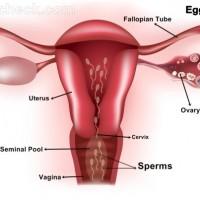 sperm enters female reproductive system