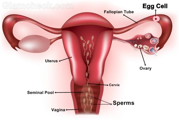 sperm enters female reproductive system